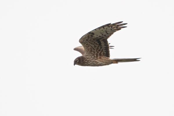 Montagu's Harrier, Circus pygargus, Photo made near Finsterwolde, The Netherlands, 12-06-2021